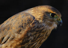 Merlin or Pigeon Hawk (portrait) Royalty Free Stock Photography