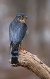Merlin Profile. A profile shot of a Merlin Falco columbarius sitting on a branch Royalty Free Stock Image