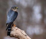 Merlin Sideview Fotografia de Stock Royalty Free