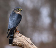 Merlin Sideview. A profile shot of a Merlin Falco columbarius sitting on a branch Royalty Free Stock Photography