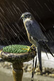 Merlin - small bird of prey - in the rain Stock Image