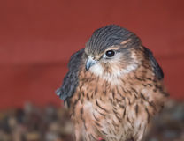 Merlin, smallest British falcon Stock Photo