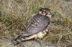 Merlin, Smelleken, Falco columbarius stock image