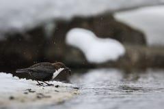 Merlo acquaiolo dalla gola bianca nella caduta della neve fotografie stock libere da diritti