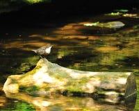 Merlo acquaiolo Throated bianco Fotografia Stock Libera da Diritti