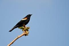 Merlo ad ali rosse appollaiato in un albero Fotografia Stock Libera da Diritti