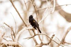 Merlo ad ali rosse a Barr Lake State Park fotografia stock libera da diritti