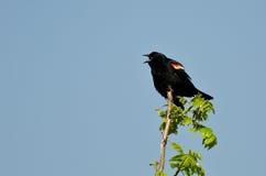 Merlo ad ali rosse che chiama da un albero Fotografie Stock Libere da Diritti