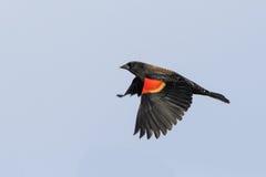 Merlo ad ali rosse durante il volo Immagine Stock