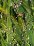 Merlo ad ali rosse femminile sulla pianta della bandiera dell'alligatore Fotografia Stock
