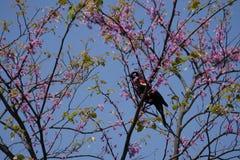 Merlo ad ali rosse in fiori rosa fotografia stock libera da diritti