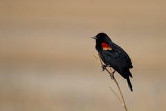Merlo ad ali rosse, phoeniceus del Agelaius fotografia stock libera da diritti