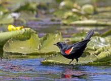 Merlo ad ali rosse sulle piante acquatiche Immagini Stock