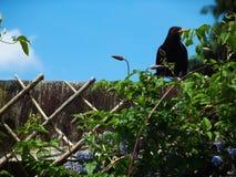 Merlo con le viti senza fine Fotografie Stock Libere da Diritti