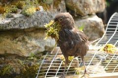 Merlo femminile che raccoglie materiale per il nido Fotografia Stock