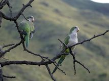 Merlo parrots. Two parrots on a tree in Merlo, San Luis, Argentina stock photo