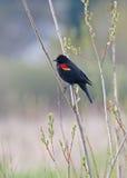 Merlo rosso maschio dell'ala Fotografia Stock Libera da Diritti