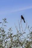Merlo su un ramo di albero Fotografie Stock Libere da Diritti
