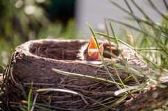 Merlo in un nido su un pino, becco aperto di Juv Immagini Stock