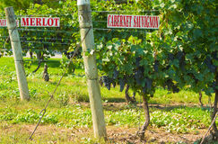 Merlot and Cabernet Sauvignon Vines. Merlot and Cabernet Sauvignon signs on grape vines in Niagara on the Lake, Ontario, Canada Royalty Free Stock Image