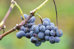 Merlot cluster with rotten grapes on a vine. Selective focus. Merlot cluster with rotten grapes on a vine royalty free stock photos