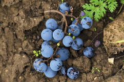 Merlot clusters on the ground in the vineyard in Bulgaria stock images