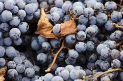 Merlot clusters and leaf. In a vineyard Stock Photos