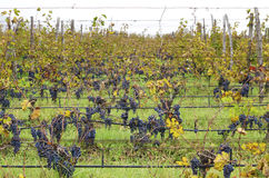 Merlot clusters in a rows in a vineyard. Selective focus Royalty Free Stock Image