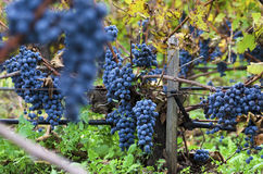Merlot clusters in a vineyard during the vine harvesting in Bulgaria. Selective focus. Countryside Royalty Free Stock Photos