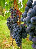 Merlot de la cosecha de la uva del otoño   Fotos de archivo libres de regalías