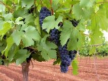 Merlot Druiven Stock Afbeeldingen