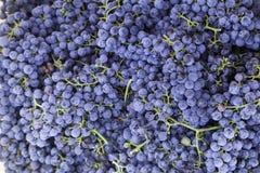 Merlot druiven Stock Afbeelding