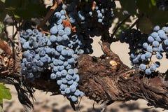 Merlot Druiven op Wijnstok Stock Afbeeldingen