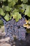 Merlot Druiven in Wijngaard Royalty-vrije Stock Foto's