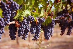 Merlot Druiven in Wijngaard Stock Fotografie