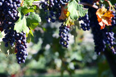 Merlot Druiven in Wijngaard Stock Afbeelding