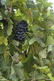 Merlot Grape Bunch. A single Merlot grape bunch surrounded by green leaves Stock Images