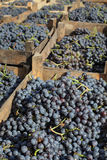 Merlot grape for wine making Royalty Free Stock Photography