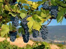 Merlot grapes. On the vine Stock Photo