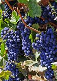 Merlot Grapes. Ripe bunches of Merlot grapes on the vine in a vineyard Royalty Free Stock Images