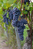 Merlot Grapes Stock Photos