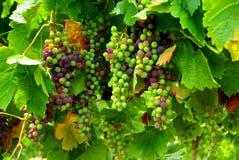 Merlot Grapes. Photograph taken at Wrights Bay Vineyard, Mt Benson, featuring ripening Merlot grapes (South Australia stock photos