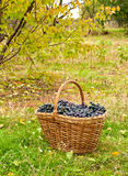 Merlot grapes in basket Royalty Free Stock Photography