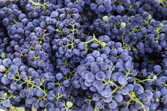Merlot grapes Royalty Free Stock Image