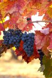 Merlot Grapes Verticle. Merlot grapes hang of a vine displaying bright red leaves Stock Photography
