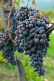 Merlot grapes Royalty Free Stock Photography
