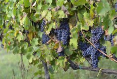 Merlot grapes Stock Image