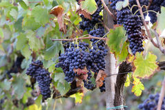Merlot grapes Stock Images
