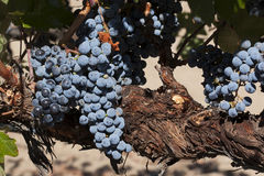 Merlot Grapes on Vine Stock Images