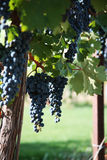 Merlot Grapes in Vineyard Royalty Free Stock Photography